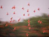 Scarlet ibises soar above their mangrove island roost