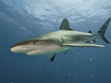 A Caribbean reef shark swimming in the waters off the Bahama Islands
