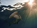 A great hammerhead shark