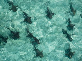 Nurse sharks patrol the shallow waters off Ambergris Cay