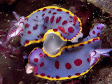 Mating behavior of hyselodoris bennetti nudibranchs
