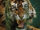 Close-up of a snarling tiger (Panthera tigris)
