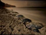 Leatherback turtles nesting on Grande Riviere Beach