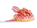 A toxic Mexichromis mariei nudibranch