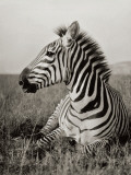 A Burchell's Zebra at Rest in the African Terrain