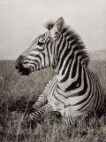 A Burchell's Zebra at Rest in the African Terrain Papier Photo par Carl E. Akeley