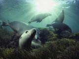 Australian sea lions swim in the waters of the Great Australian Bight