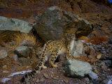 A remote camera captures an endangered snow leopard