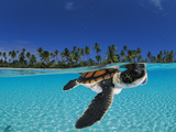 Baby green sea turtle swimming in a tropical paradise Papier Photo par David Doubilet
