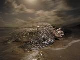 A leatherback turtle nesting on Matura Beach