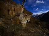 A snow leopard signals its presence by urinating beside his trail