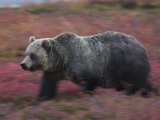 A brown bear hunts for fruit in a blueberry patch