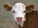 Calf Portrait Papier Photo