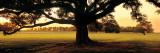 Louisiana  Oak Tree at Sunset