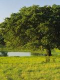 Oak Tree in a Field  Tucson  San Rafael Valley  Santa Cruz County  Arizona  USA