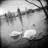 Two Swans in a River  Vltava River  Prague  Czech Republic