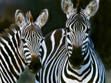 Zebras Africa