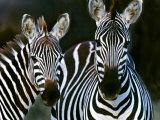 Zebras Africa Papier Photo
