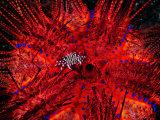 Zebra Crab (Zebrida Adamsii) in Symbiosis with an Astropyga Radiata Sea Urchin