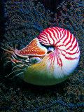 Nautilo (Nautilus Pompilius)