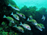 A Shoal of Speckled Sweetlips (Plectorhinchus Fishes)