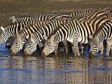 Herd of Zebras Drinking Water  Ngorongoro Conservation Area  Arusha Region