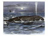 Right Whale Spouting