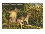 Monkeys  Florida