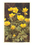 Ranunculus  Mountain Buttercup