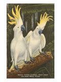 Sulphur-Crested Cockatoos  Miami  Florida