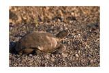 Desert Tortoise (Wild)  Saguaro National Park