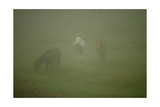 Horses Grazing In The Mist