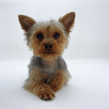 Yorkshire Terrier Puppy Lying with Head Up