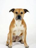 American Staffordshire Terrier Staffy Sitting Portrait