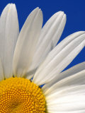 Marguerite Oxeye Daisy  Devon  UK