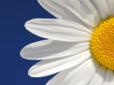 Marguerite Oxeye Daisy Detail  Devon  UK