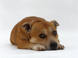 Red Staffordshire Bull Terrier Bitch  3 Years Old  Lying with Head Down