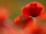 Common Poppy Flower  Cornwall  UK