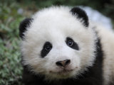 Giant Panda Baby, Aged 5 Months, Wolong Nature Reserve, China Papier Photo par Eric Baccega