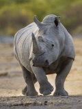 White Rhinoceros Etosha Np  Namibia January