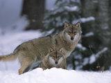 European Grey Wolves in Snow  Bayerischer Wald Np  Germany