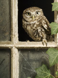 Little Owl in Window of Derelict Building  UK  January