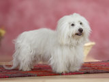 Coton De Tulear Dog Standing on Rug
