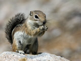 Harris Antelope Squirrel Feeding on Seed Organ Pipe Cactus National Monument  Arizona  USA