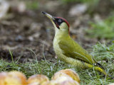 Green Woodpecker Male Alert Posture Among Apples on Ground  Hertfordshire  UK  January