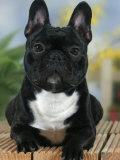 Domestic Dog  French Bulldog