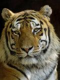 Siberian Tiger Male Portrait, Iucn Red List of Endangered Species Papier Photo par Eric Baccega