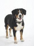 Entlebucher Mountain Dog Standing