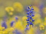 Texas Bluebonnet in Field of Wildflowers  Gonzales County  Texas