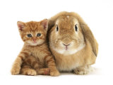 British Shorthair Red Spotted Kitten Sitting with Sandy Lop Rabbit